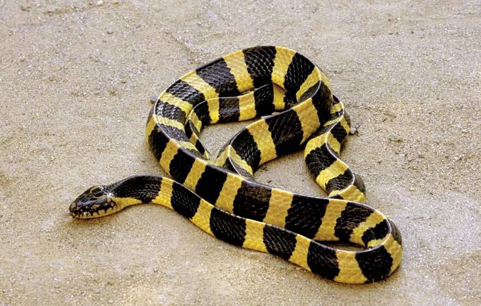 Ленточного крайта, к счастью, легко заметить ночью - змейка ярко раскрашена