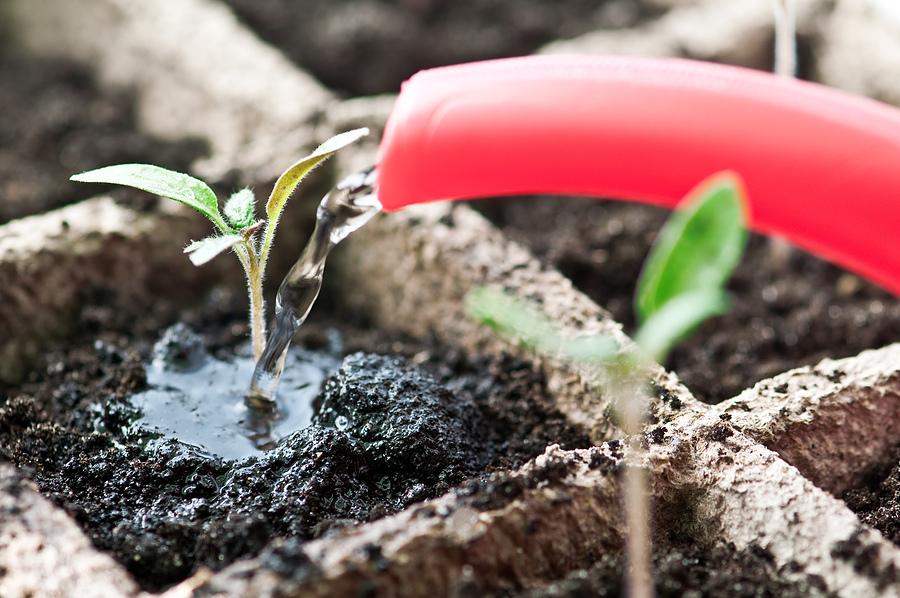 Полив молодой рассады помидор под корень с помощью небольшой лейки
