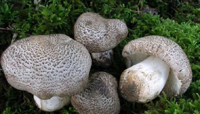 Ядовитые грибы: рядовка тигровая или леопардовая