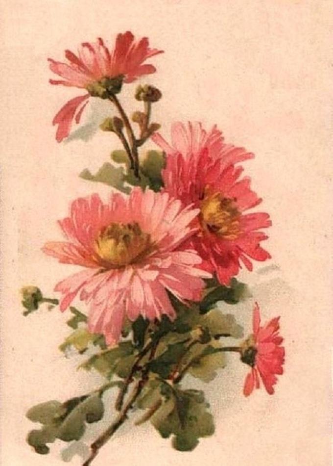 Рисунки хризантем для срисовывания