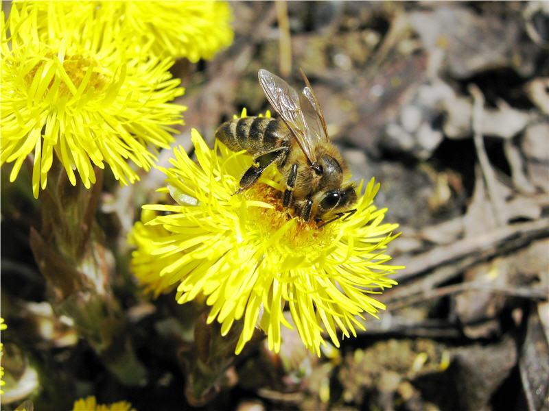 Опыление мать-и-мачехи пчелами