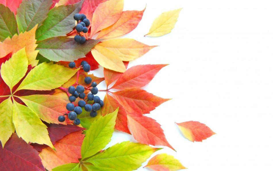 Окрас листьев осенью