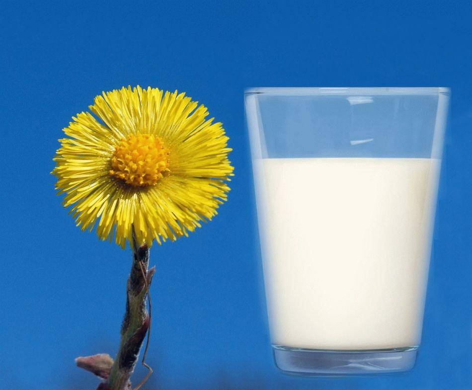 Рецепт из мать-и-мачехи с молоком