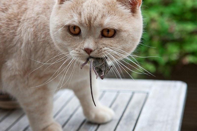 Домашние любимцы могут ловить мышей, но есть их крайне нежелательно