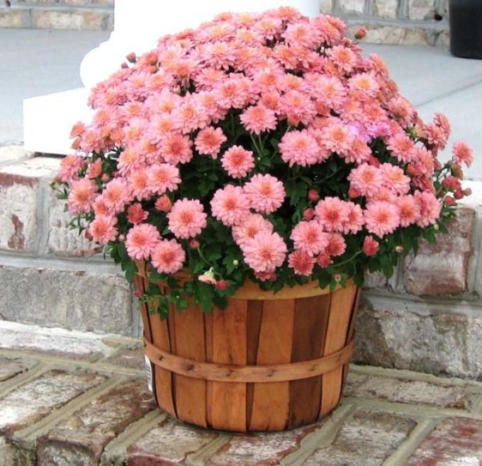 Хризантему можно выращивать в горшке
