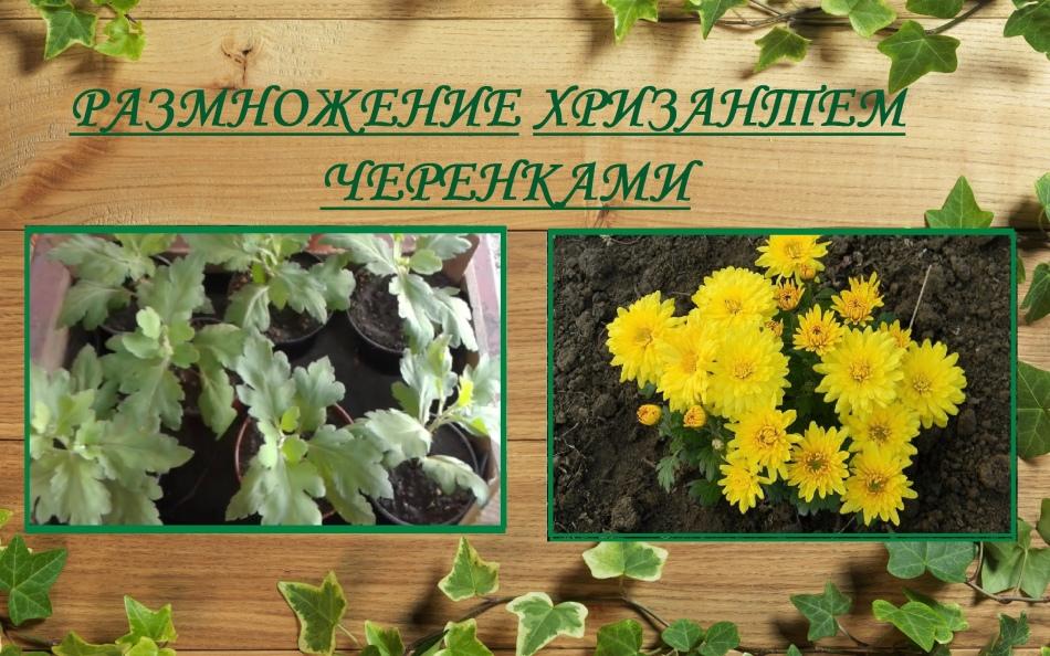 Размножьте хризантему черенкованием