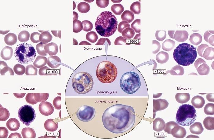 Виды лейкоцитов в крови при беременности
