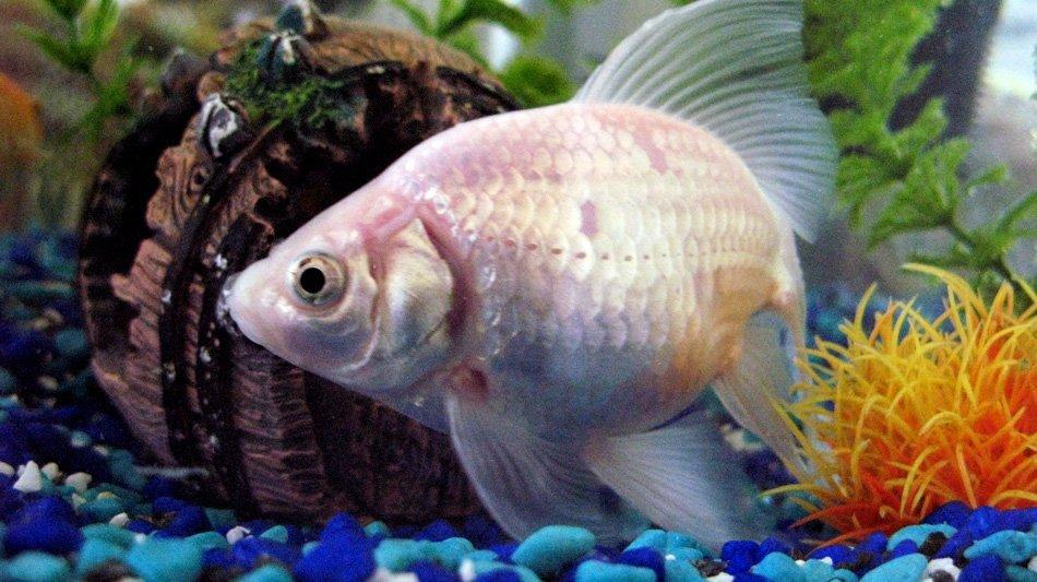 Белые золотые рыбки