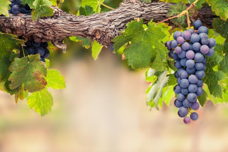 Для хорошего развития и урожая виноград нужно правильно опрыскивать