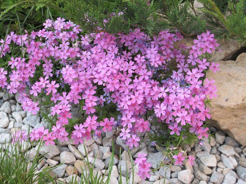 Какое удобрение поможет улучшить цветение флоксов?