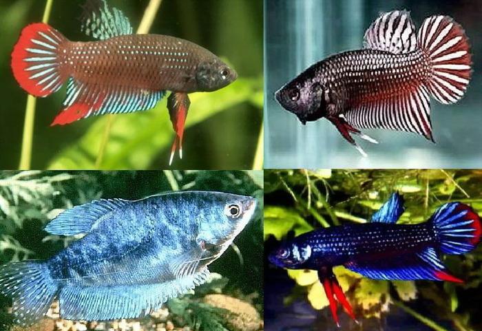 Мирные и спокойные аквариумные рыбки