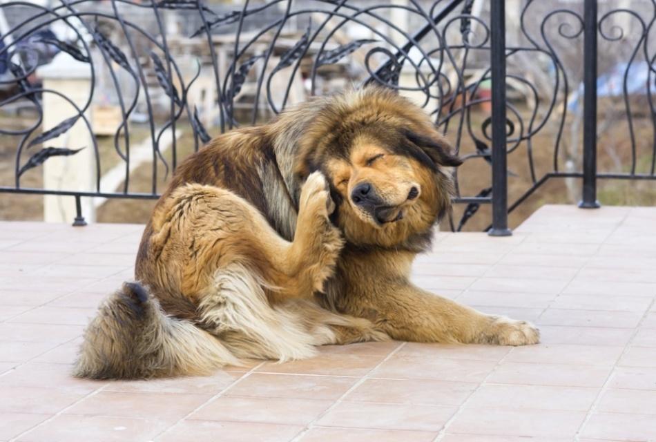 Если животное долго жило дома, а затем стало проживать на улице, у него может начаться чесотка из-за демодекса