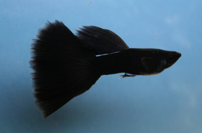 Черный гуппи