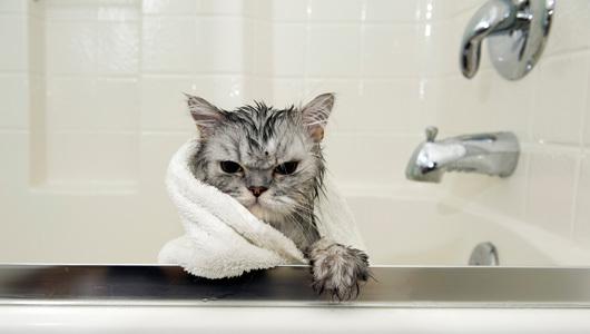 Домашнего кота купают раз в 3 месяца.
