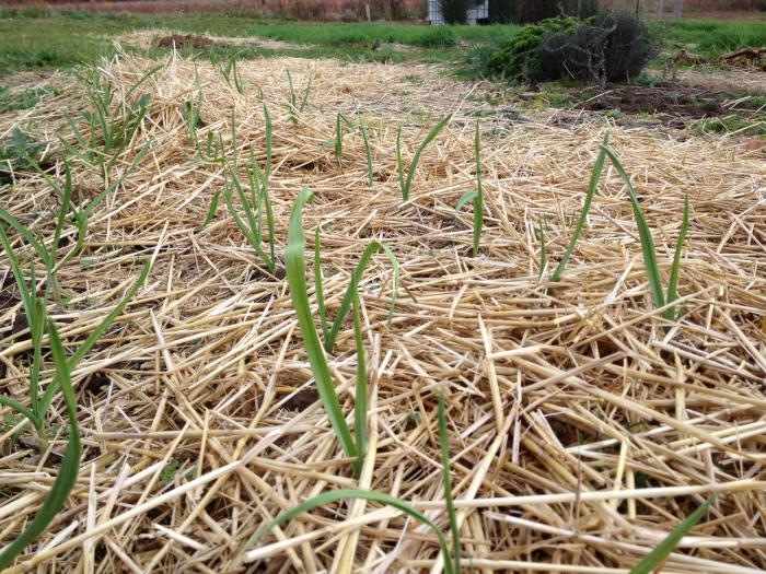 Подкормка озимого лука по весне