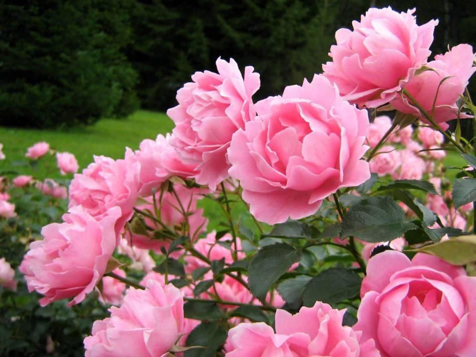 Для красивого цветения важно подкармливать пионы