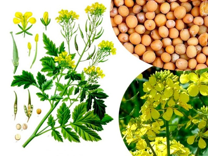 Горчица белая — семена, цветы, зелень.