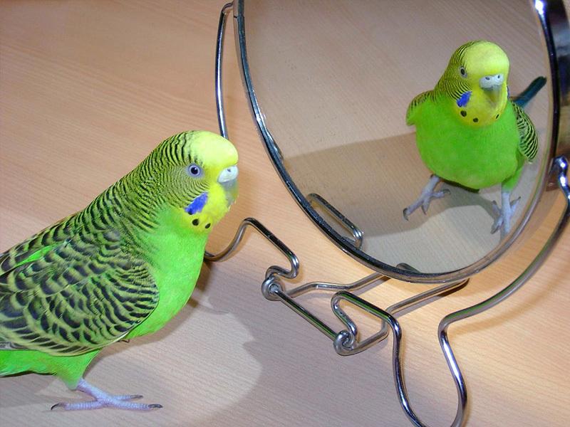 Попугаи обожают разговаривать со своим отражением