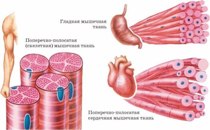 Гладкая и поперечно-полосатая мышечная ткань человека