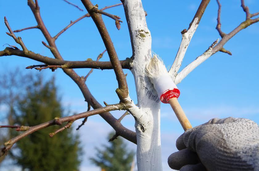 Важно подготовить дерево перед побелкой