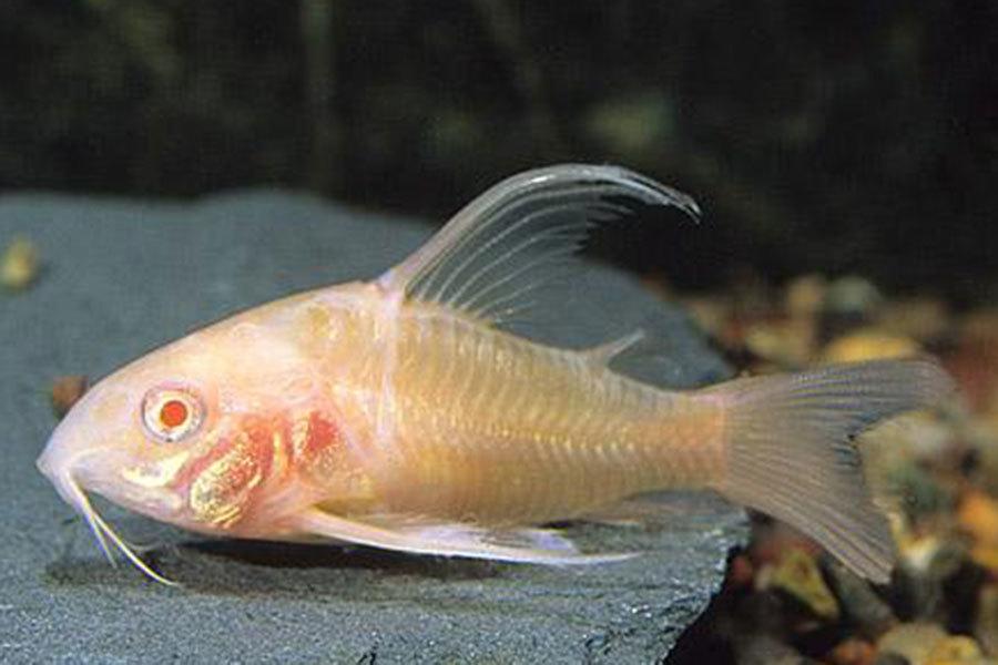 Сомики-альбиносы