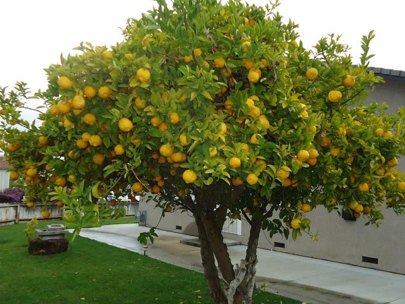 Обязательно высаживайте комнатный лимон на улицу в теплый период