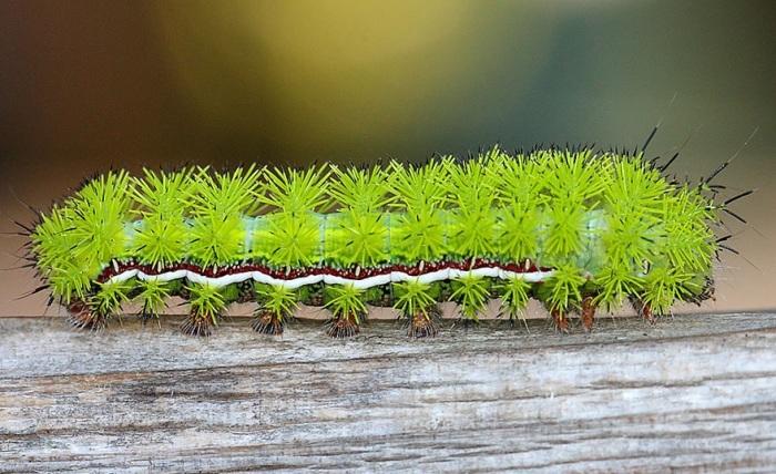 Красивые гусеницы
