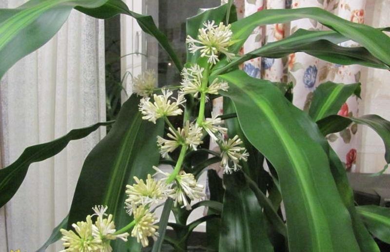 Драцена душистая в период цветения