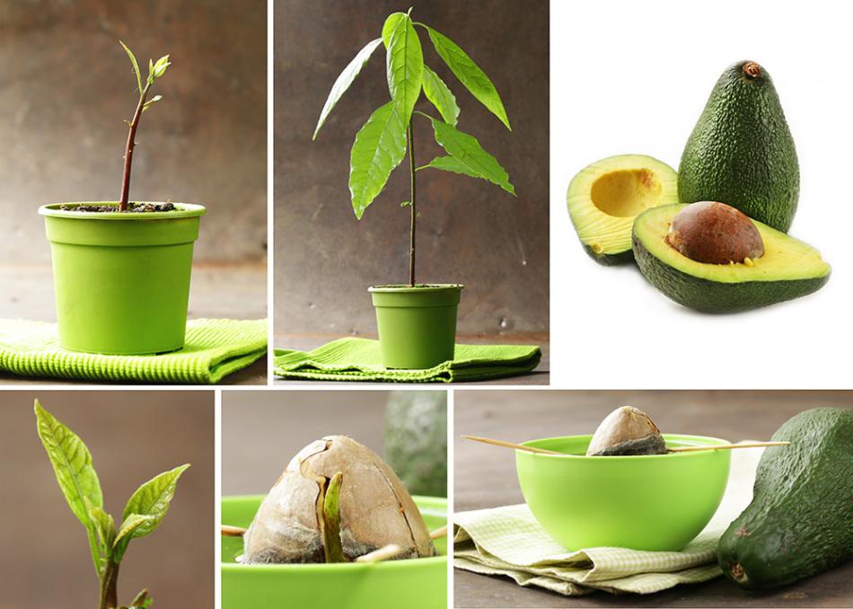 Дерево авокадо из косточки