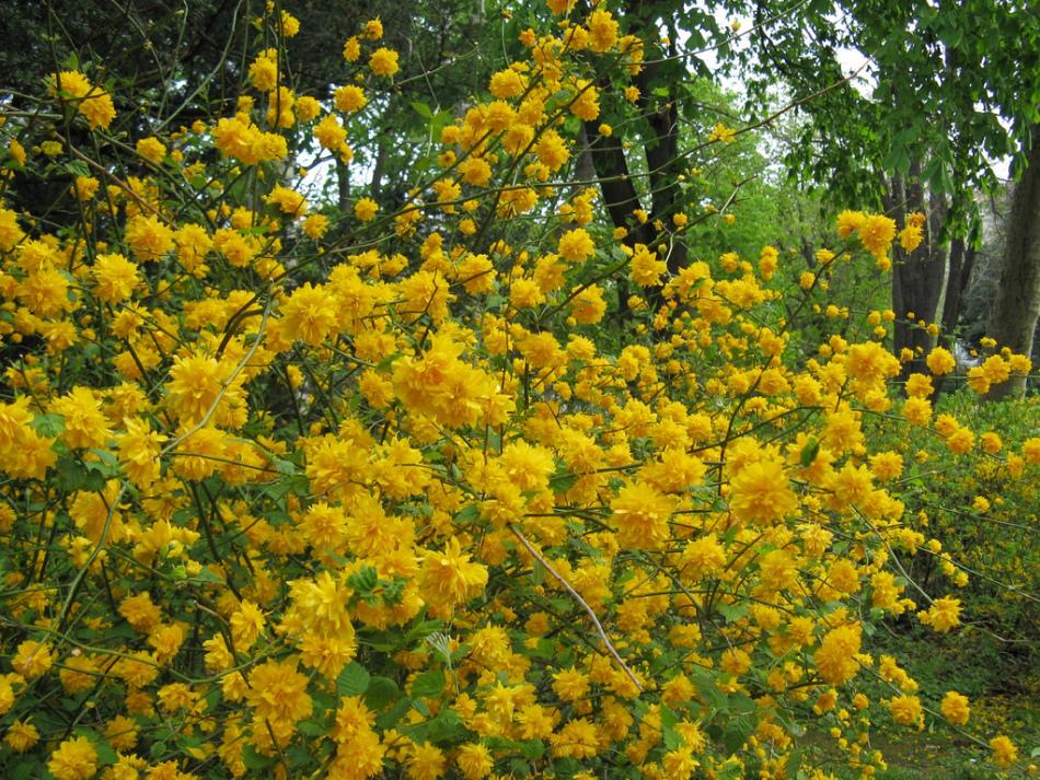 Желтый кустарник