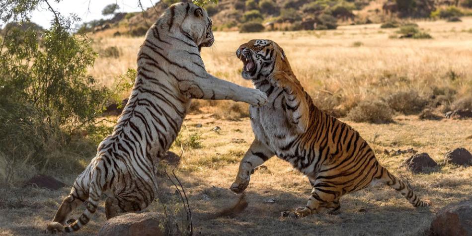 Атакующий тигр во сне - знак надвигающейся угрозы.