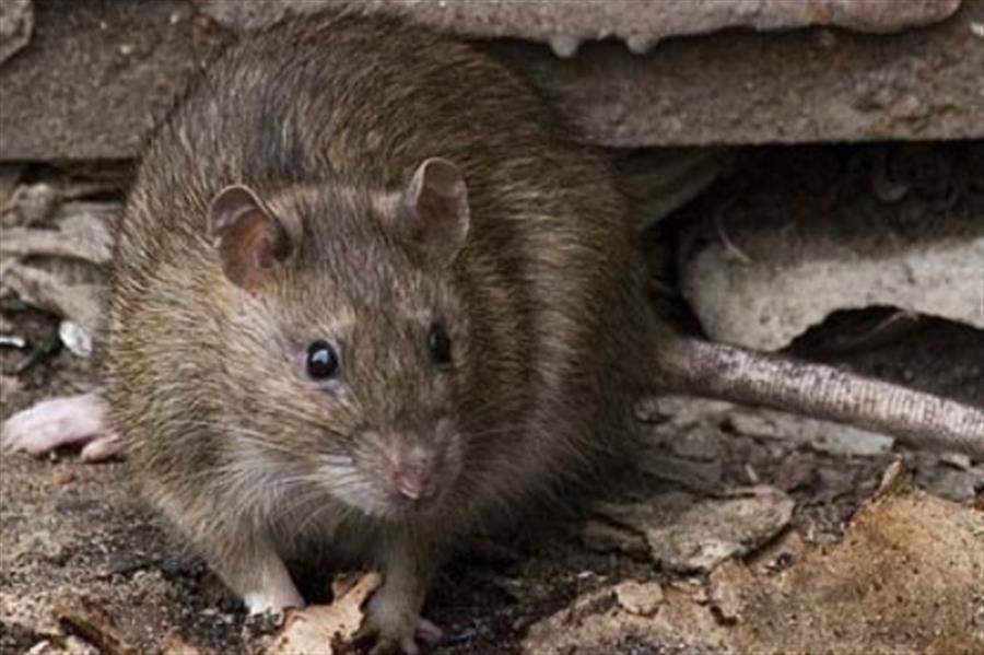 Крупная крыса во сне к неприятностям наяву в скором времени.