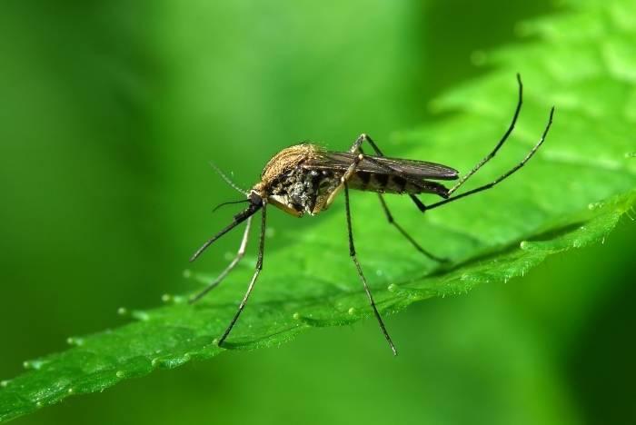 Оптимальная температура для комаров 15-20°с