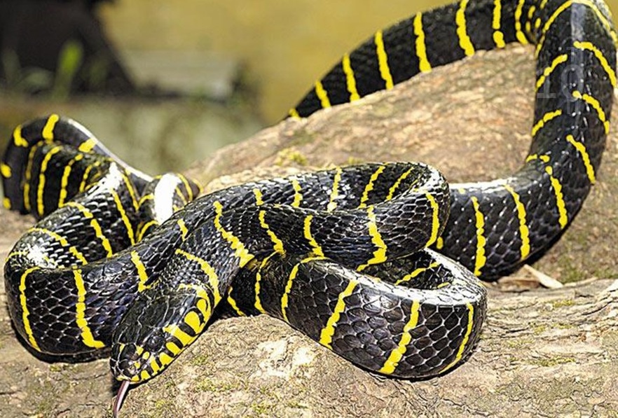Шипохвост австралийский - змея, яд которой быстрее всего нейтрализуется