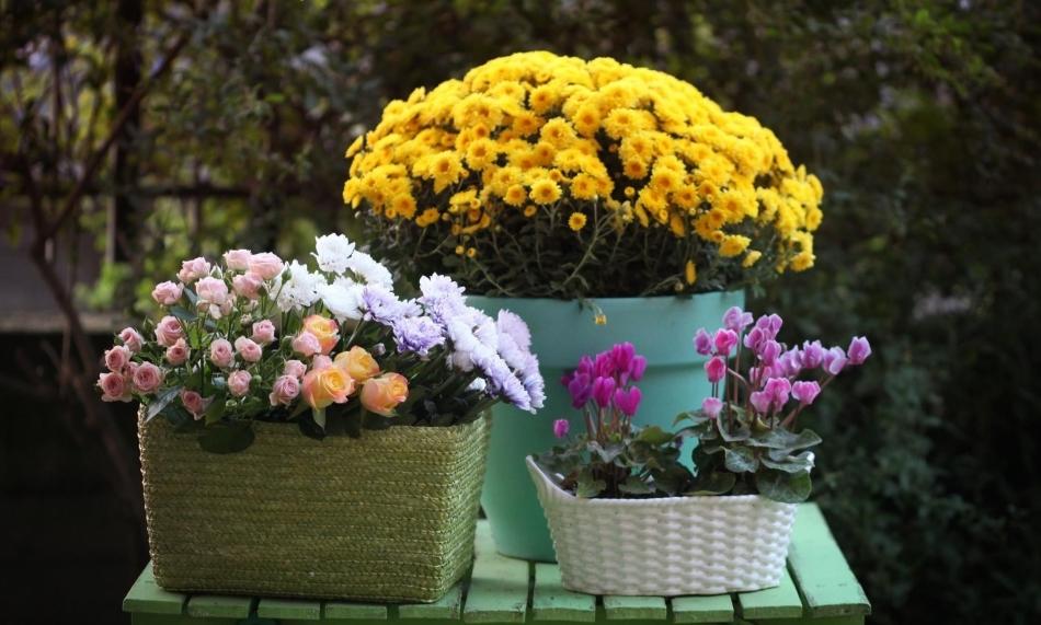 Создайте дома прекрасную композицию из хризантем