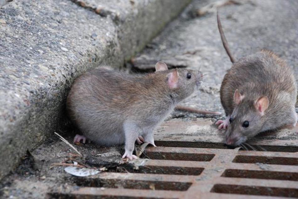 Атака крыс во сне может предвещать скорую болезнь сновидца.