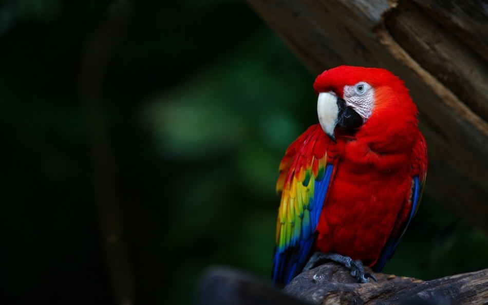Ара - красочный и интеллектуальный попугай