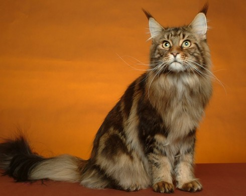 Удивительные кошки породы мейн-кун внешне имеют сходство с рысью
