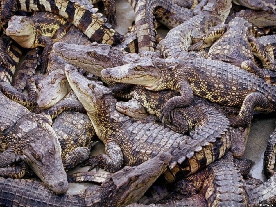 Много крокодилов во сне