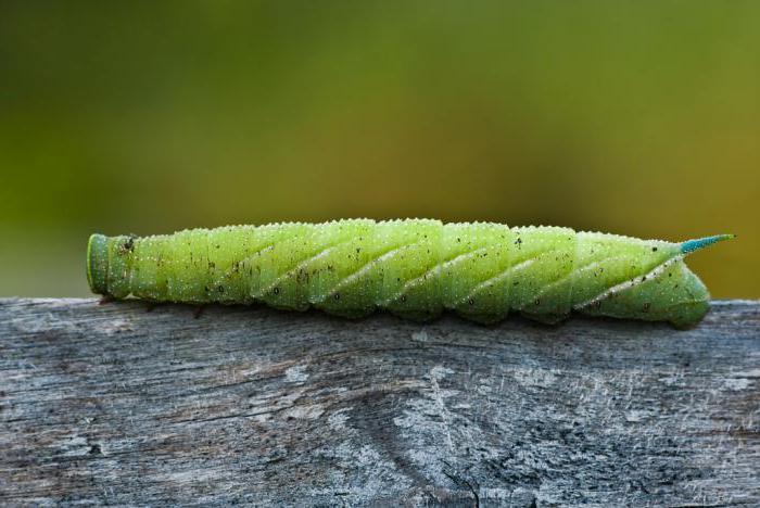 Гусеницы с рогом на хвосте