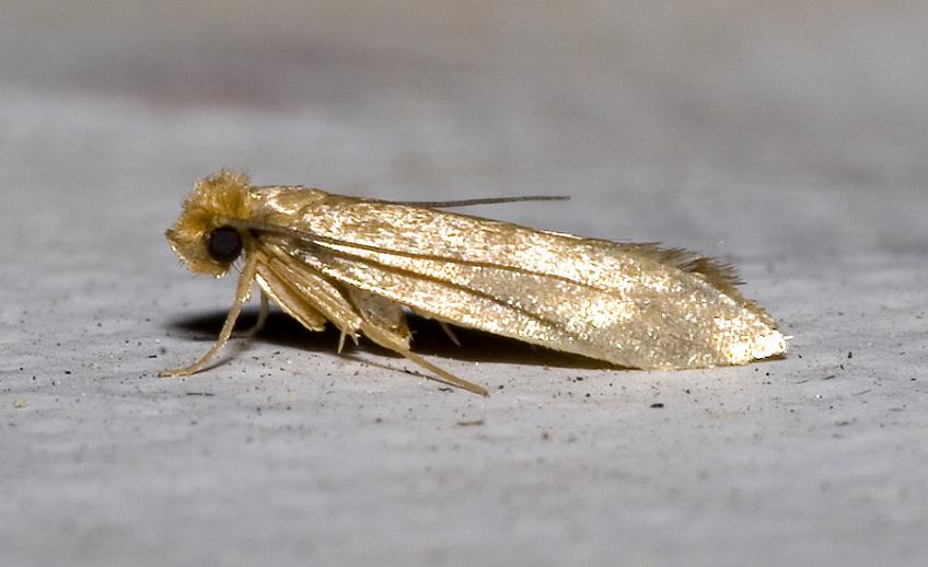Бабочка гусеницы платяной моли