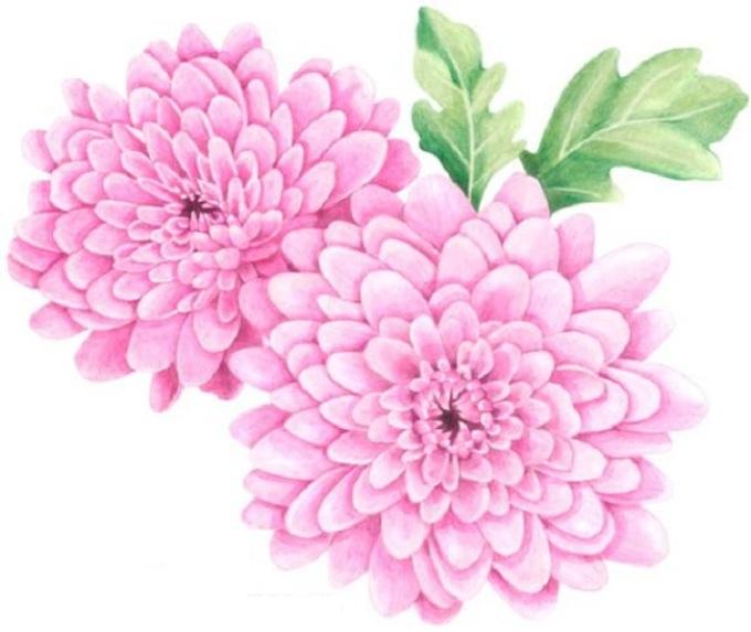 Как нарисовать букет хризантем: пошаговая инструкция
