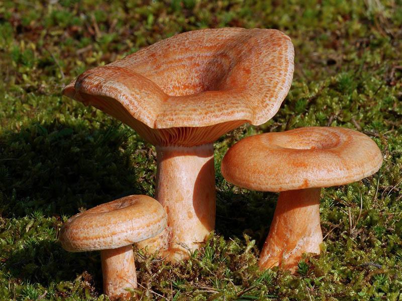 Ночные заморозки не являются помехой для сбора грибов рыжиков