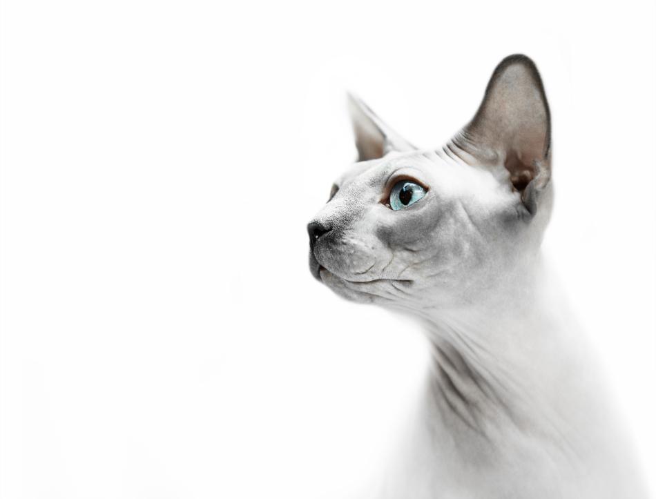 Сфинксы — загадочные представительницы семейства кошачьих