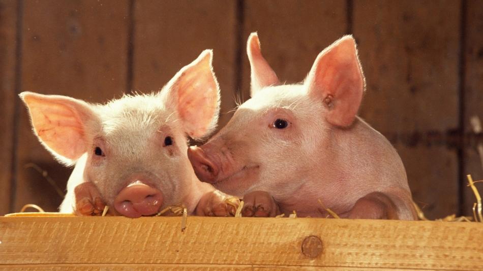 Сон со свиньями