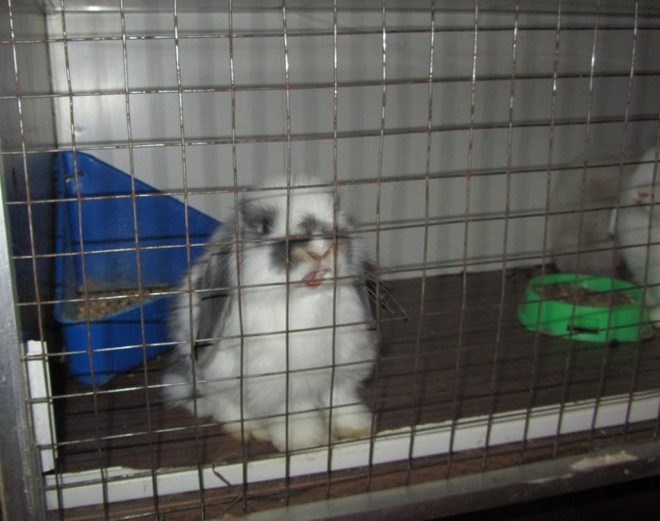 Содержание вислоухого декоративного кролика в клетке
