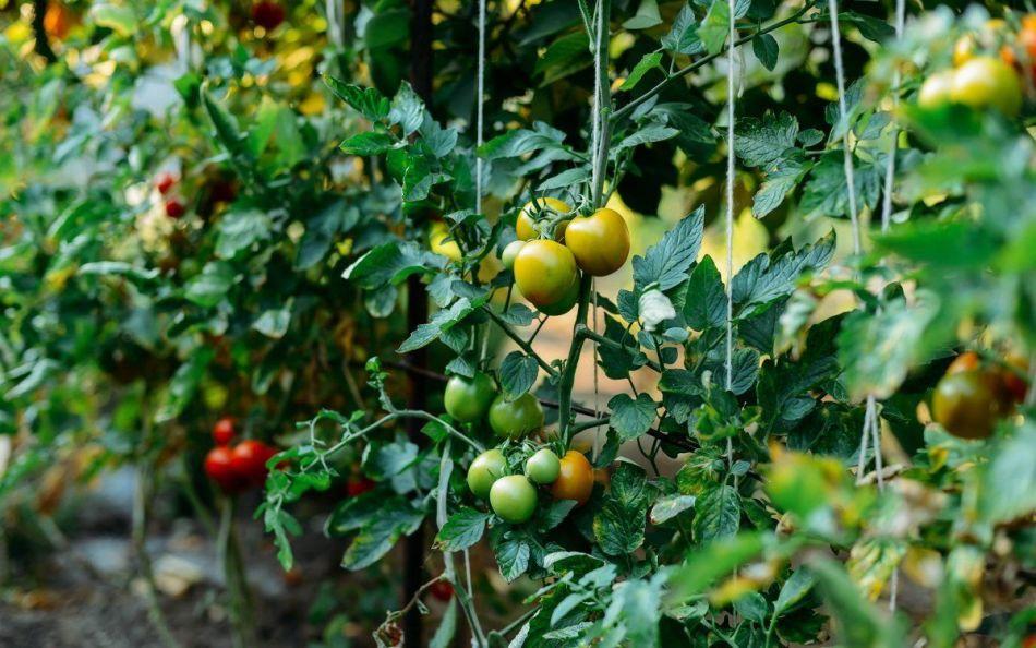 Кусты помидор