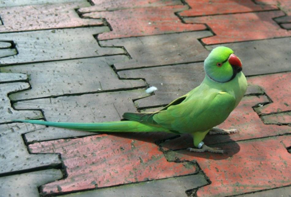 Квакер - преданный и общительный попугай.jpg