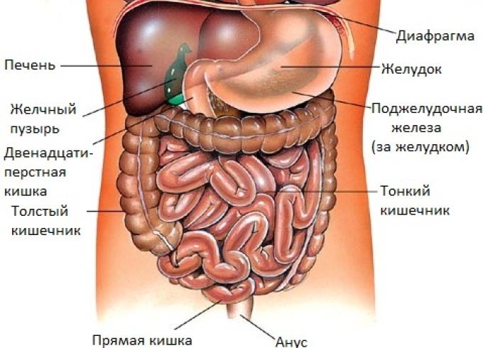Внутренние органы брюшной полости человека