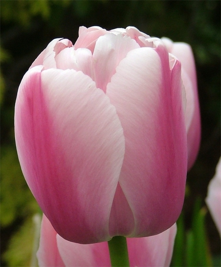 3d477f29ee969cf619c16a21ae8587f1 Выращивание тюльпанов к 8 марта